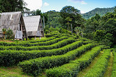 homestay in tea garden at the mountain
