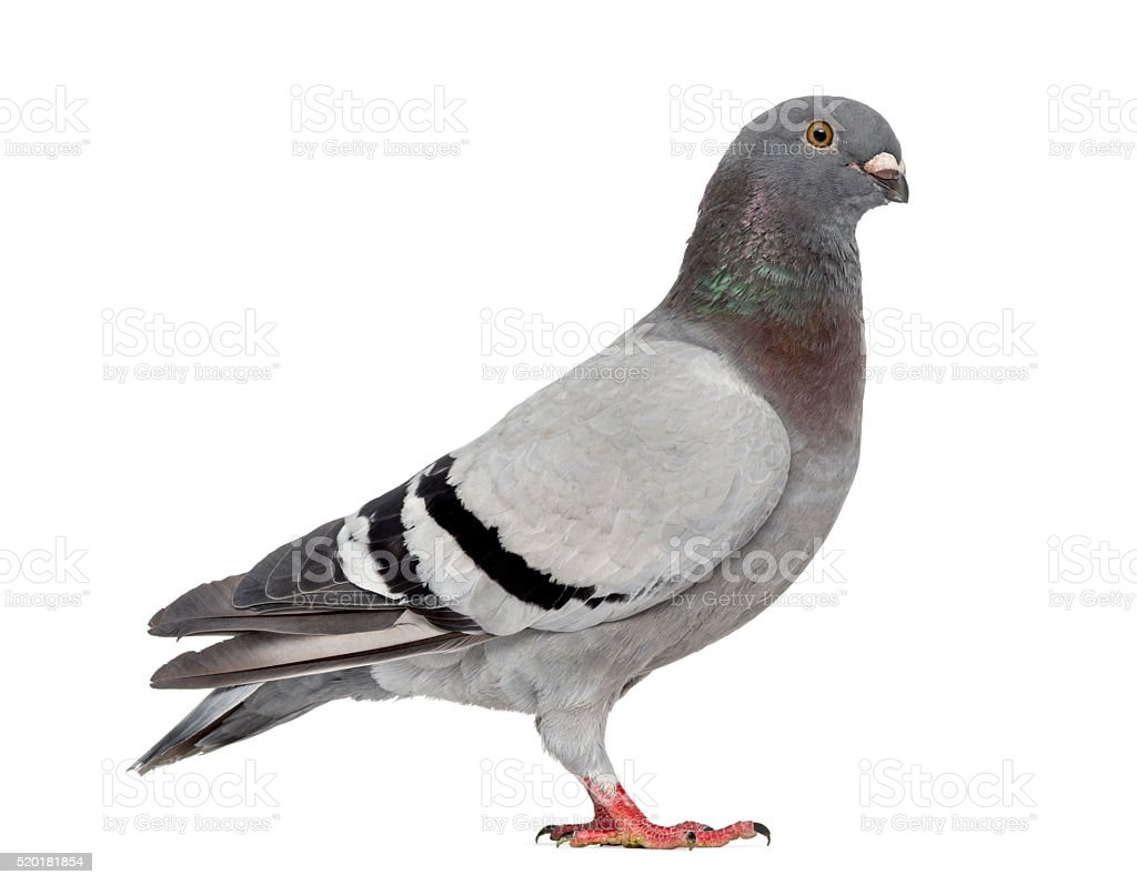 Homing pigeon isolated on white stock photo