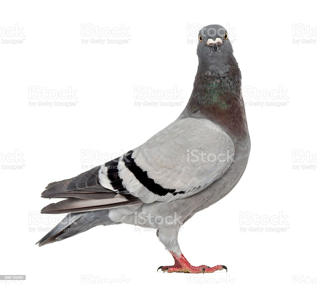 homing pigeon isolated on white stock photo 598130990 istock