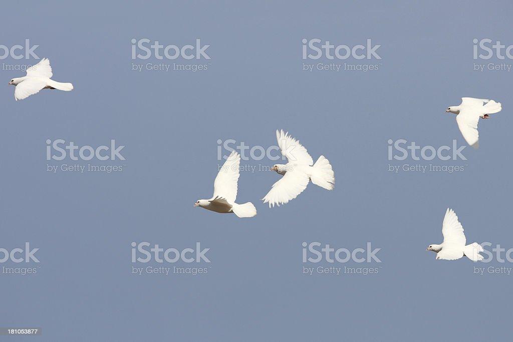 Homing Pigeon White Dove Bird stock photo