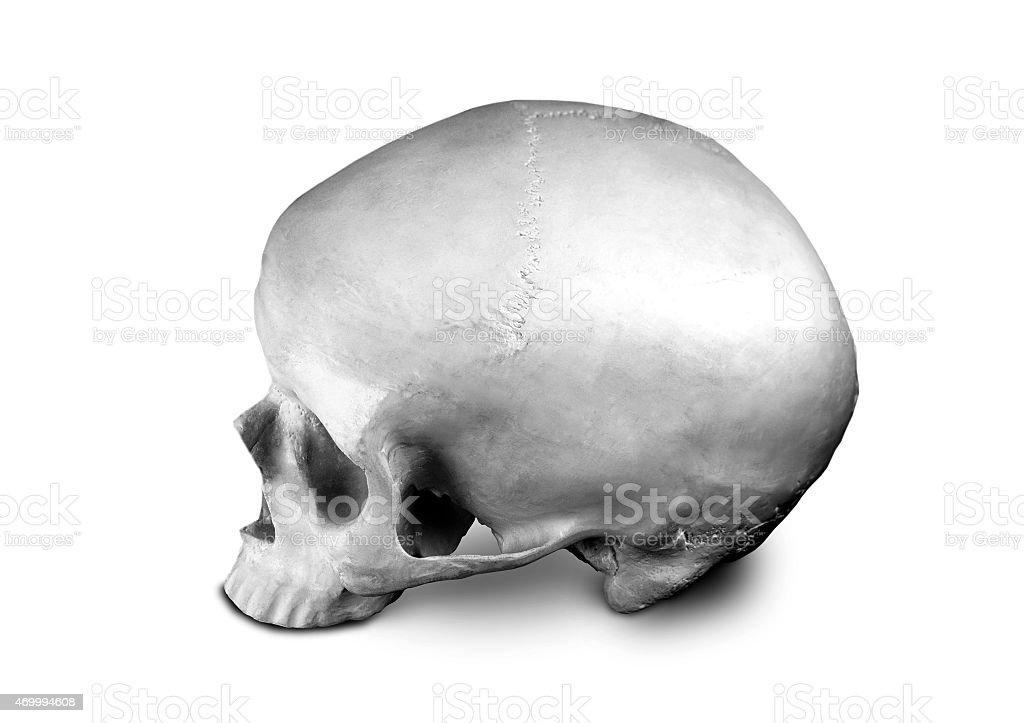 Homo sapience cranium isolated on white background stock photo