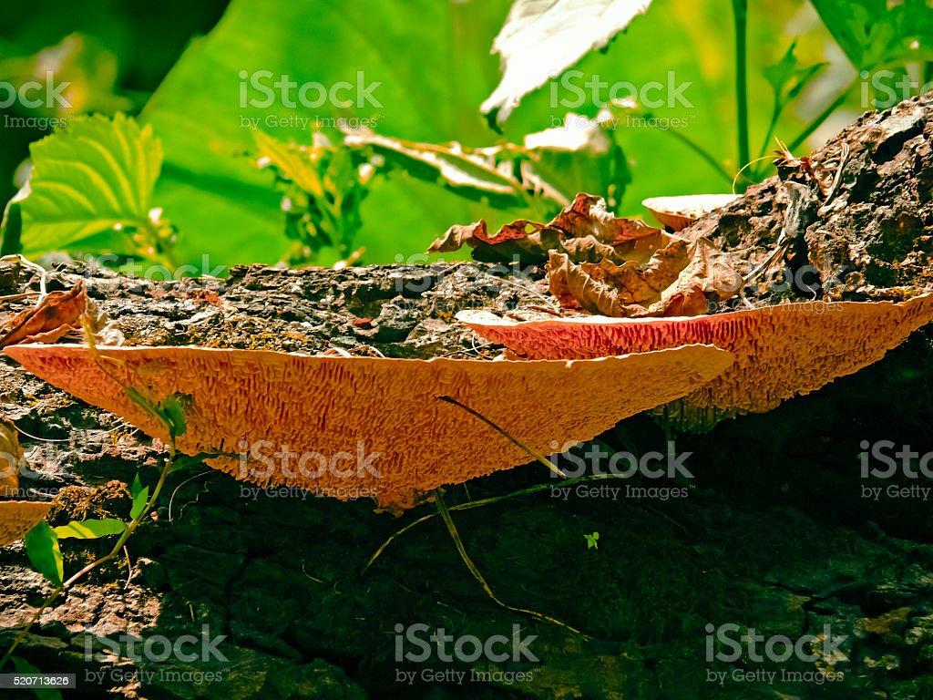 Homobasidiomycetes, bracket-fungus stock photo