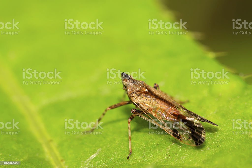 homoptera insects royalty-free stock photo
