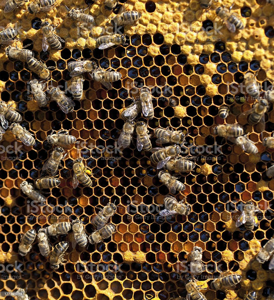 honey and bees working royalty-free stock photo
