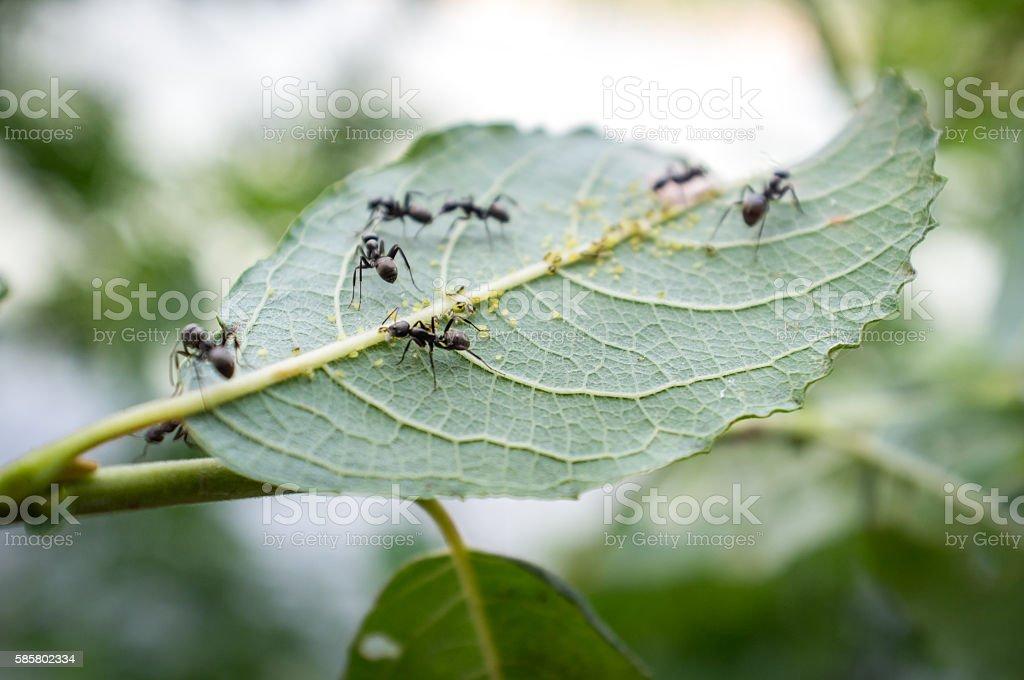 Honey Ants Aphids stock photo