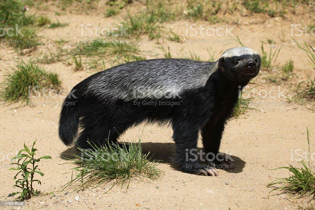 Honey badger (Mellivora capensis) stock photo