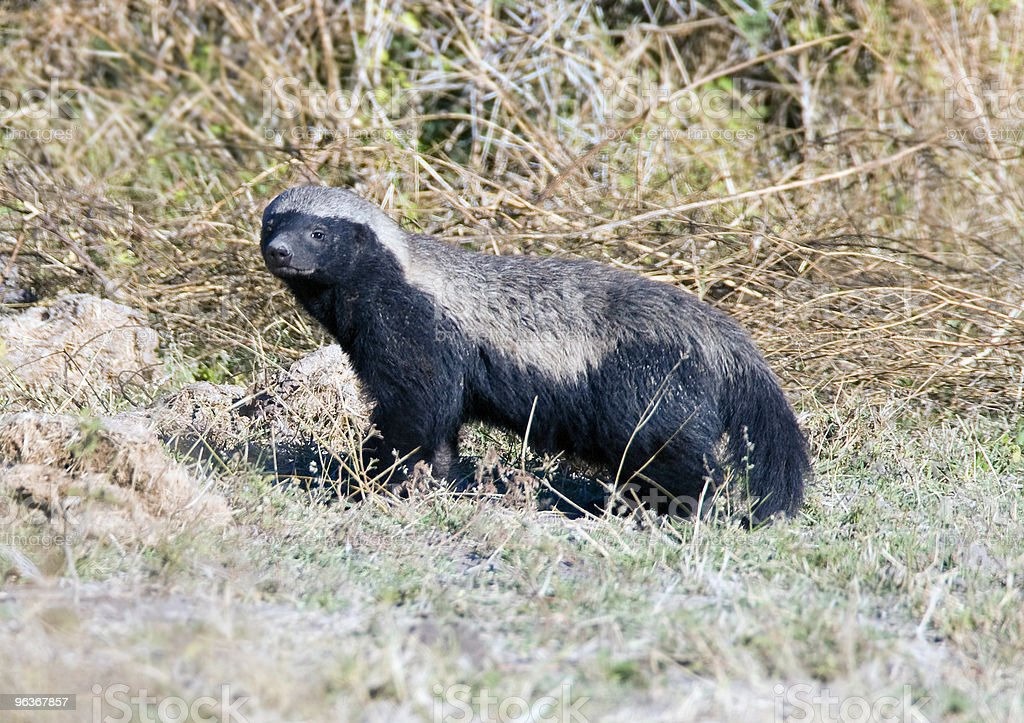 Honey Badger stock photo