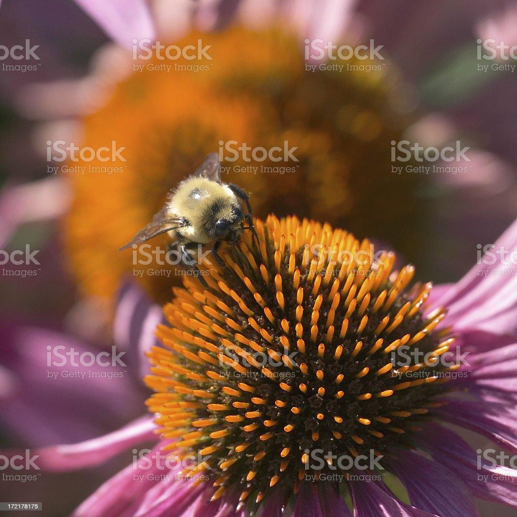 Honey Bee 01 royalty-free stock photo