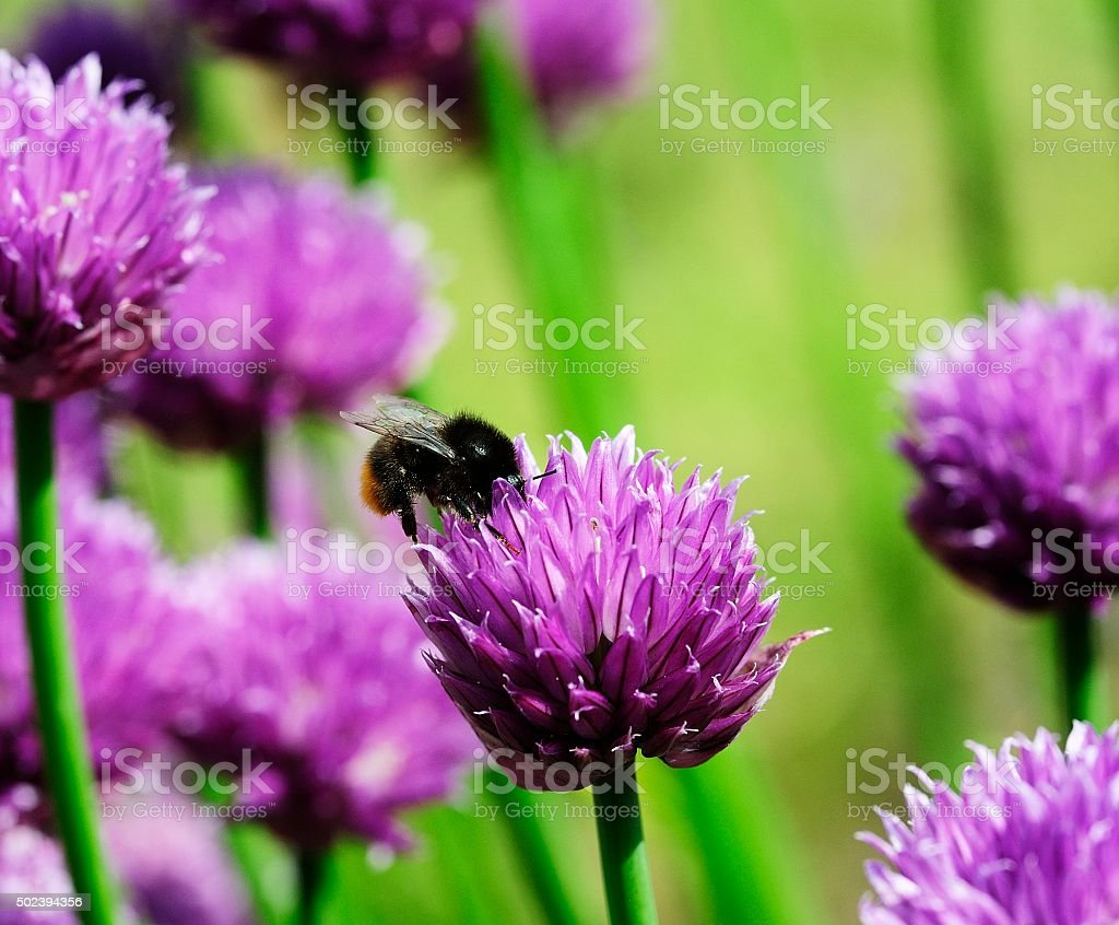 Honey Bee and the Chives stock photo