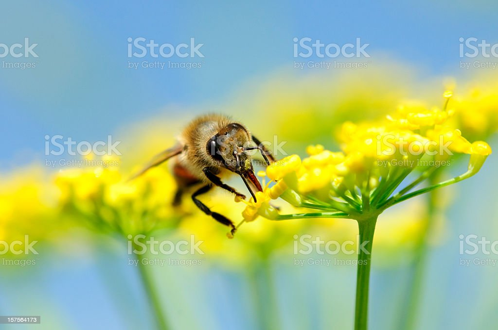 Honey bee Apis mellifera collecting nectar from flower royalty-free stock photo