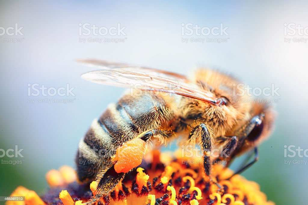 Honey bee at work stock photo
