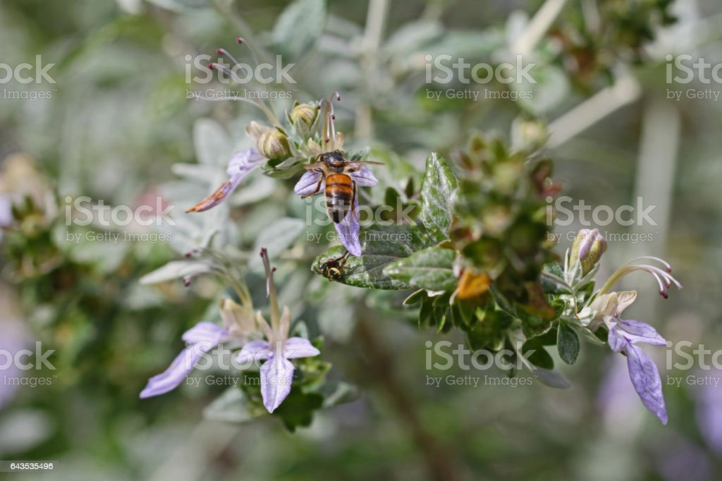 honey bee close up v on teucrium fruticans flower echinops or germander in Italy apis mellifera collecting pollen in Italy stock photo