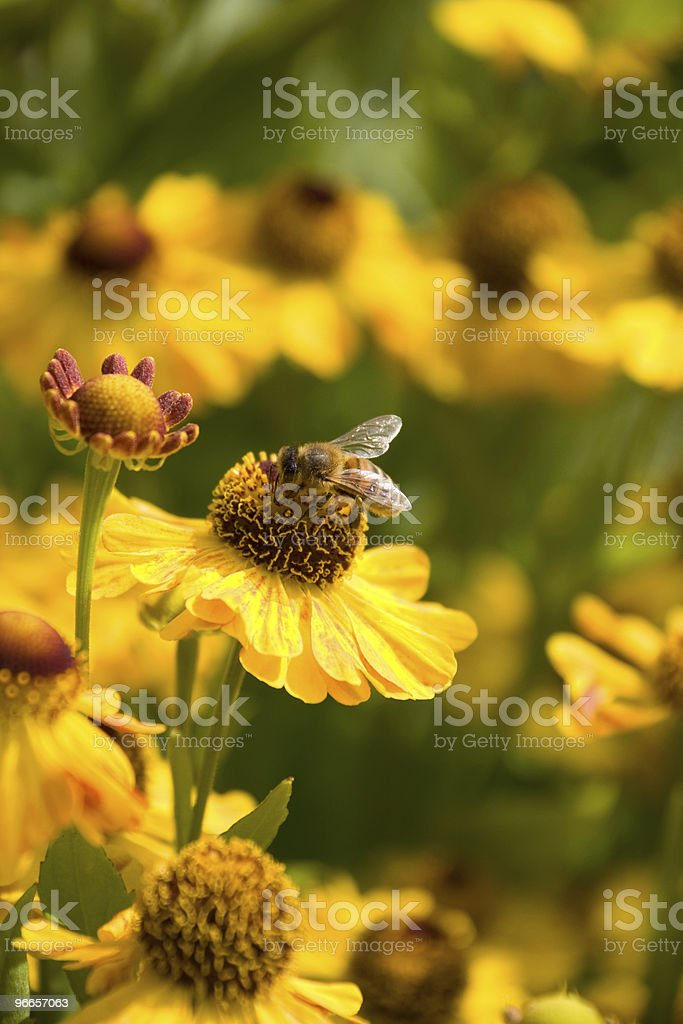 Honey Bee Collecting Nectar from Flower royalty-free stock photo