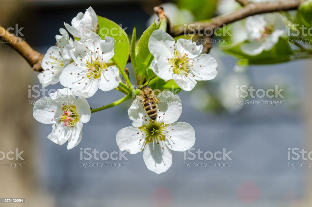Honey bee collecting nectar on white pear tree blossoms at springtime. stock photo
