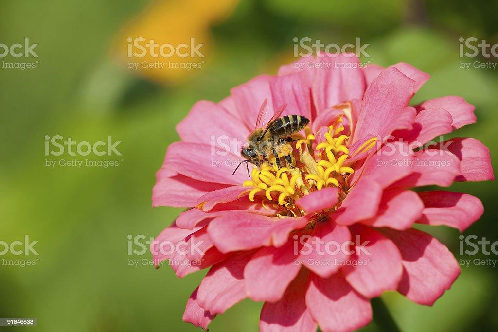 Honey bee collecting nectar. stock photo