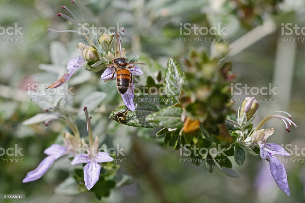 honey bee collecting pollen close up on teucrium fruticans flower echinops or germander Latin name apis mellifera stock photo