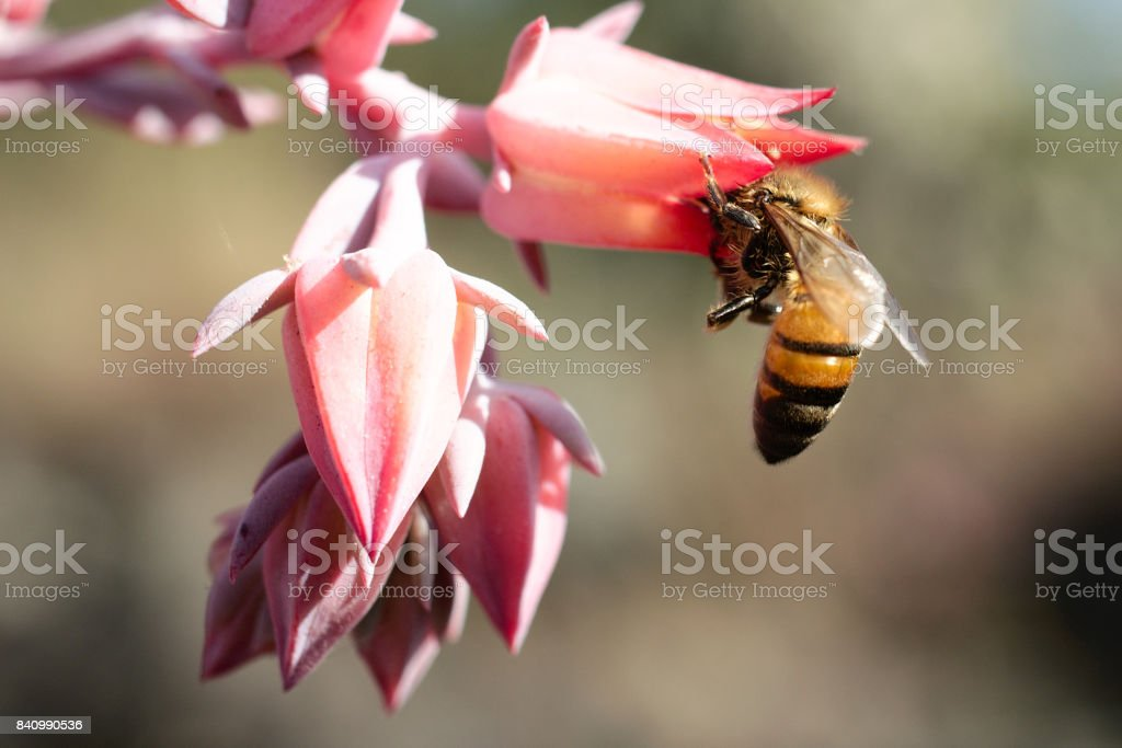 Honey bee collecting pollen from a pink flower. stock photo