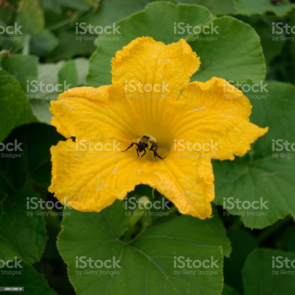 Honey Bee Collecting Pollen of Squash Flower stock photo