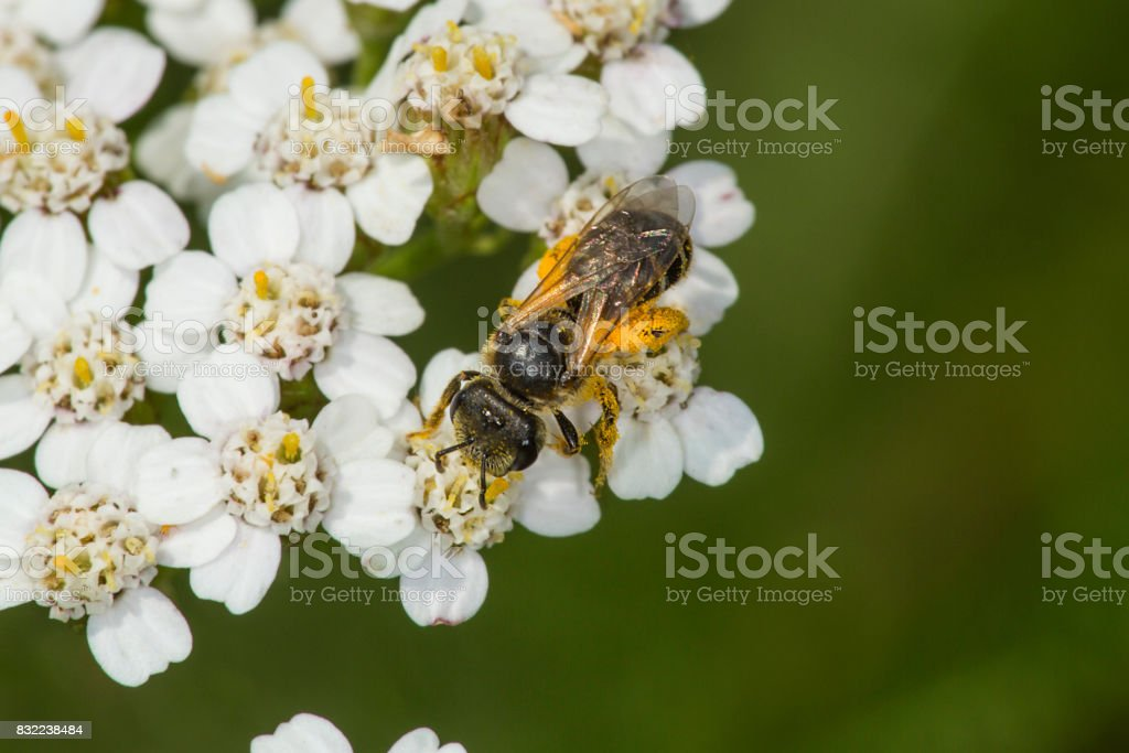 Honey bee covered in orange pollen on yarrow flowers, Connecticut. stock photo
