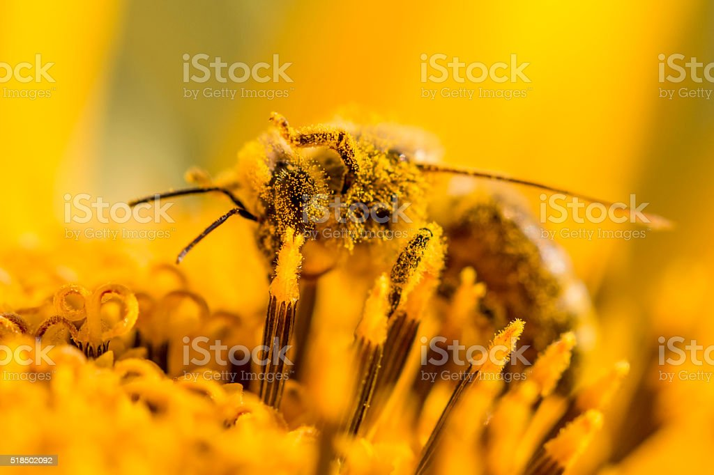 Honey bee covered with detailed yellow pollen legs in air stock photo
