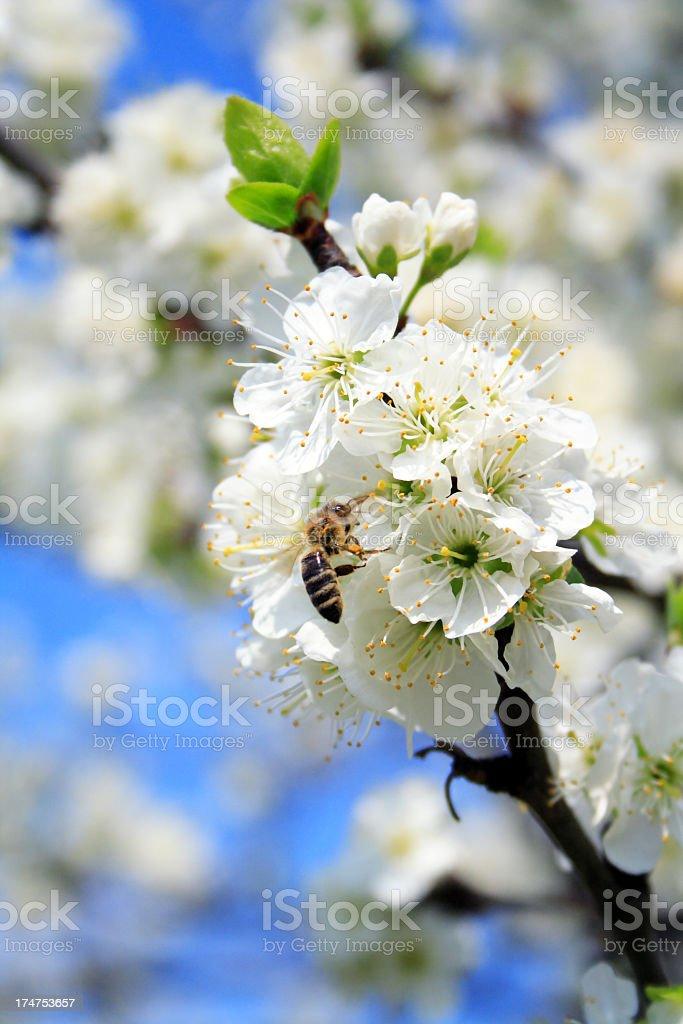 Honey bee feeding on a flower royalty-free stock photo