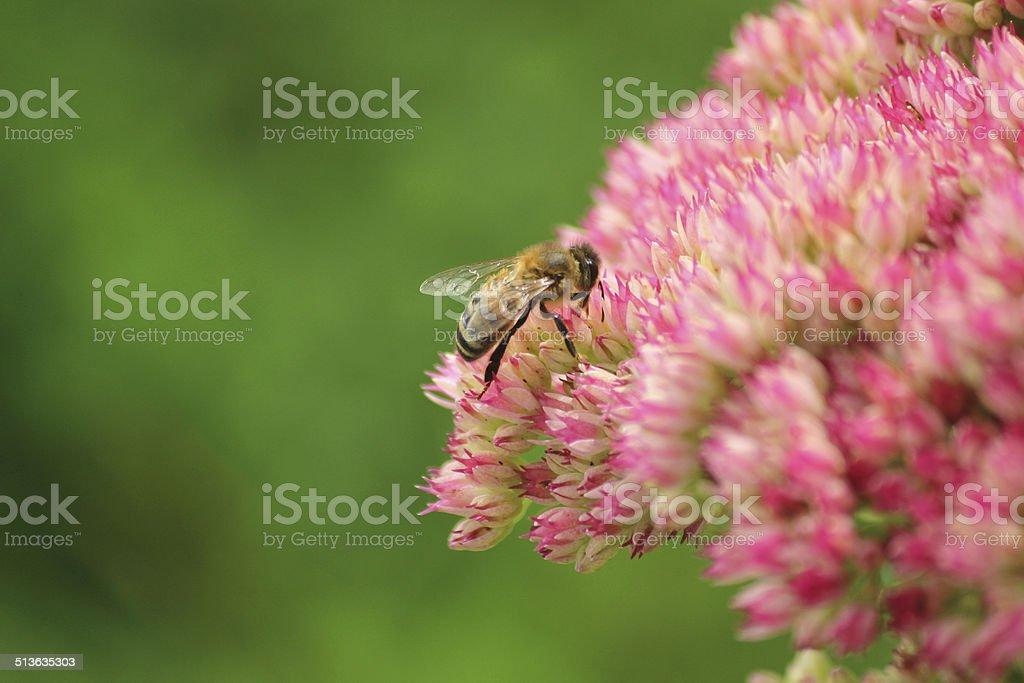 Honey bee feeding, pollen, pink sedum flowers, Hylotelephium-spectabile, stonecrop, ice-plant stock photo