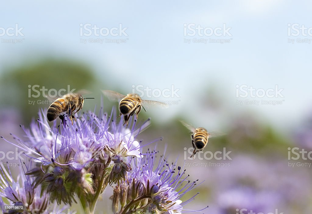 Honey bee flying away stock photo