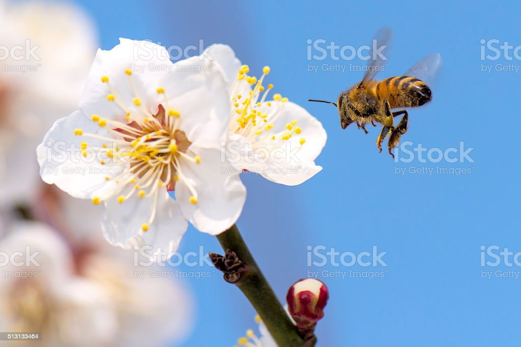 Honey bee flying stock photo
