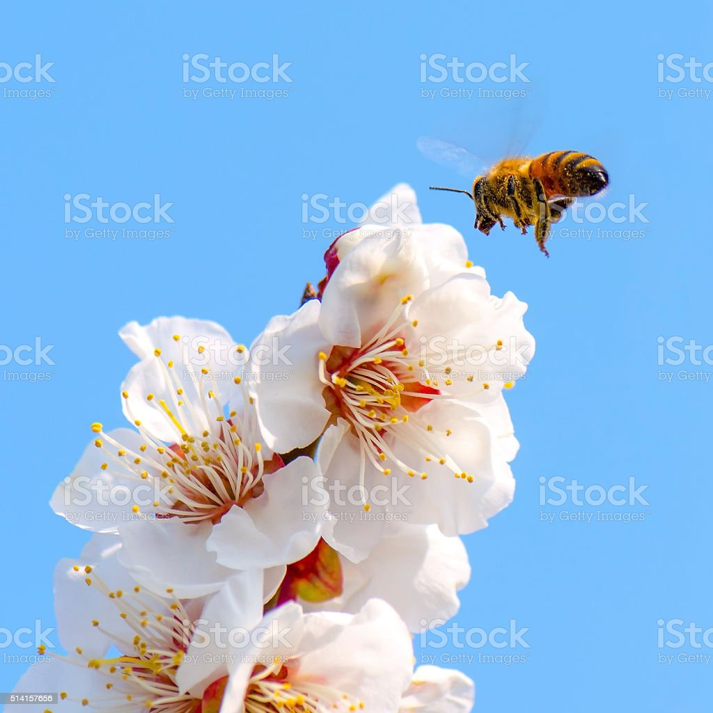 Honey bee flying stock photo