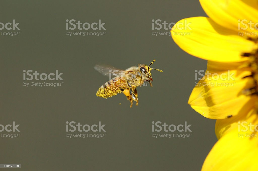 Honey bee flying toward sunflower stock photo