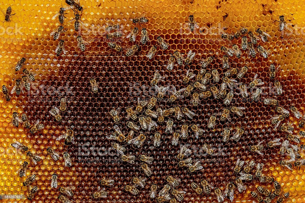 Honey bee frame from a hive with Colony Collapse Disorder stock photo