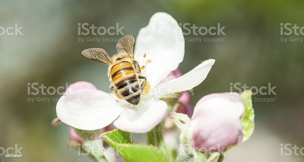 Honey bee gathering pollen from  feeding on plumb tree flower royalty-free stock photo