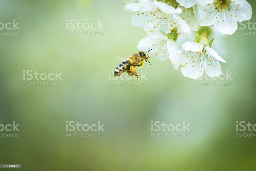 Honey bee in flight approaching blossoming cherry tree stock photo
