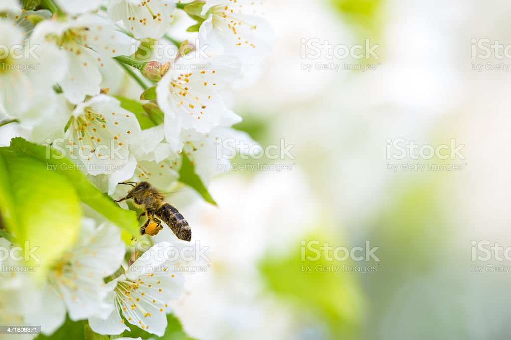 Honey bee in flight approaching blossoming cherry tree royalty-free stock photo