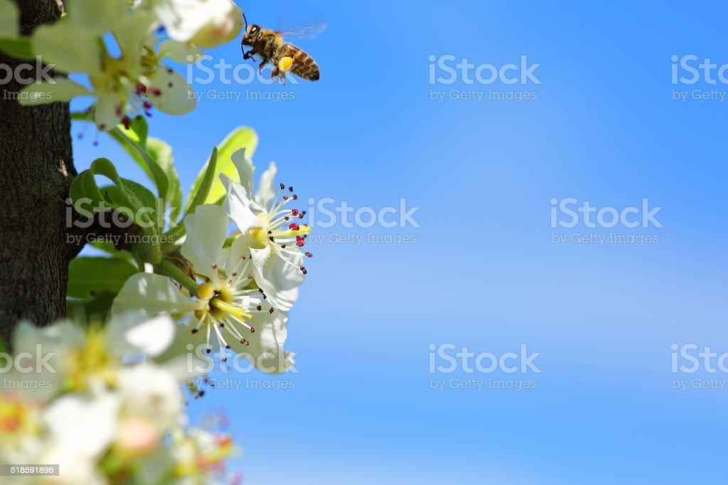 Honey bee in flower stock photo
