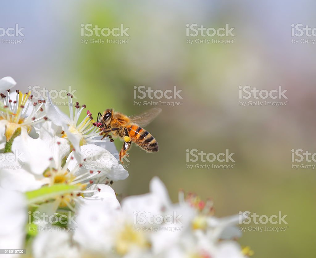 Honey bee in flower stock photo