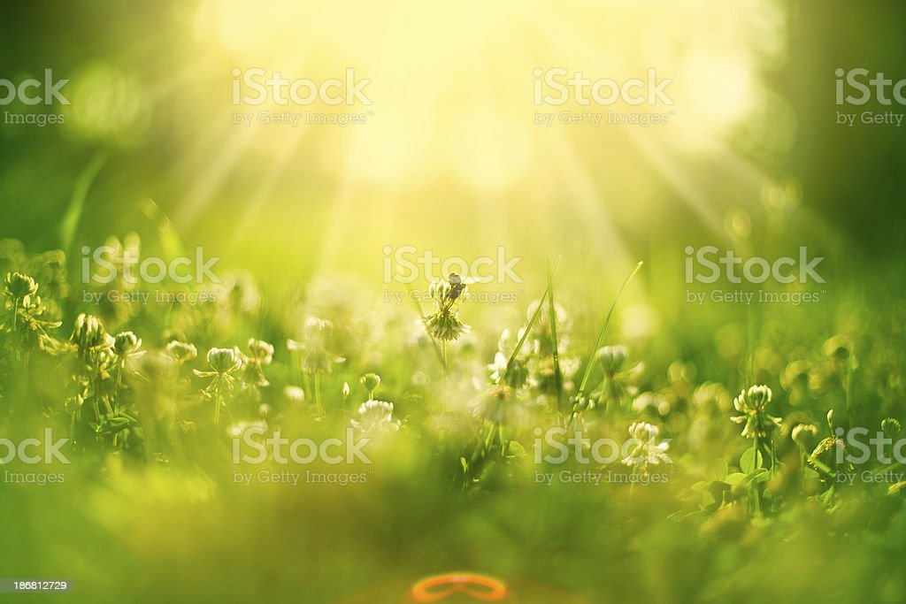 Honey bee in meadow stock photo