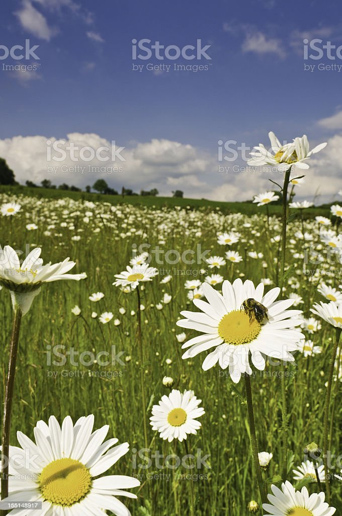 Honey bee in wild daisy meadow idyllic summer landscape royalty-free stock photo