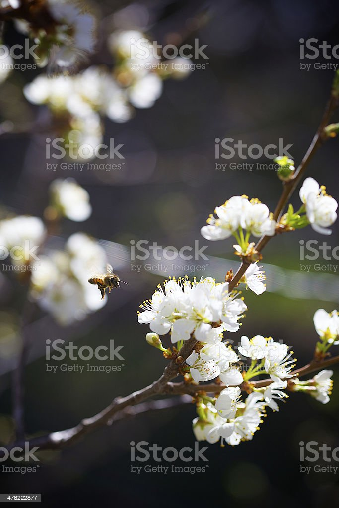 Honey Bee in Wild Plum royalty-free stock photo