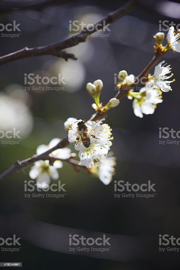 Honey Bee in Wild Plum royalty-free stock photo