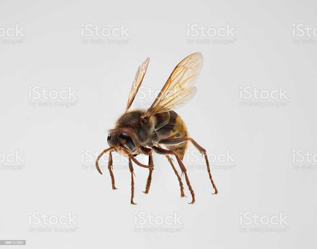 honey bee isolated on grey stock photo