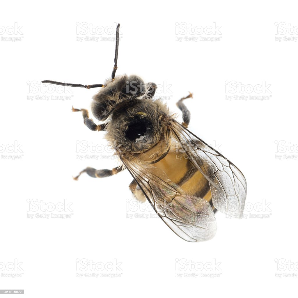 honey bee isolated stock photo