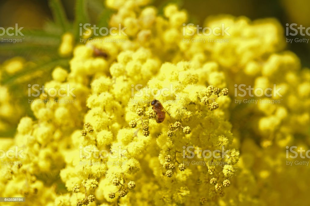 Honey bee Latin name apis mellifera collecting pollen on mimosa or acacia dealbata. The tree is also known as the sensitive plant, silver wattle or blue wattle, in spring in Italy stock photo