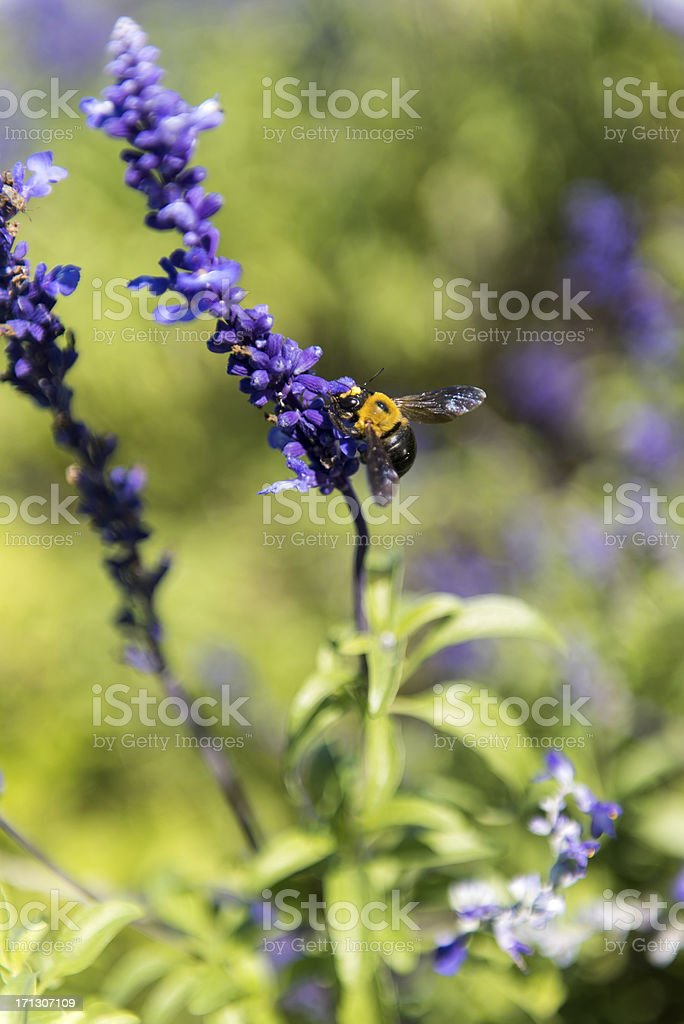 Honey bee  Lavender stock photo