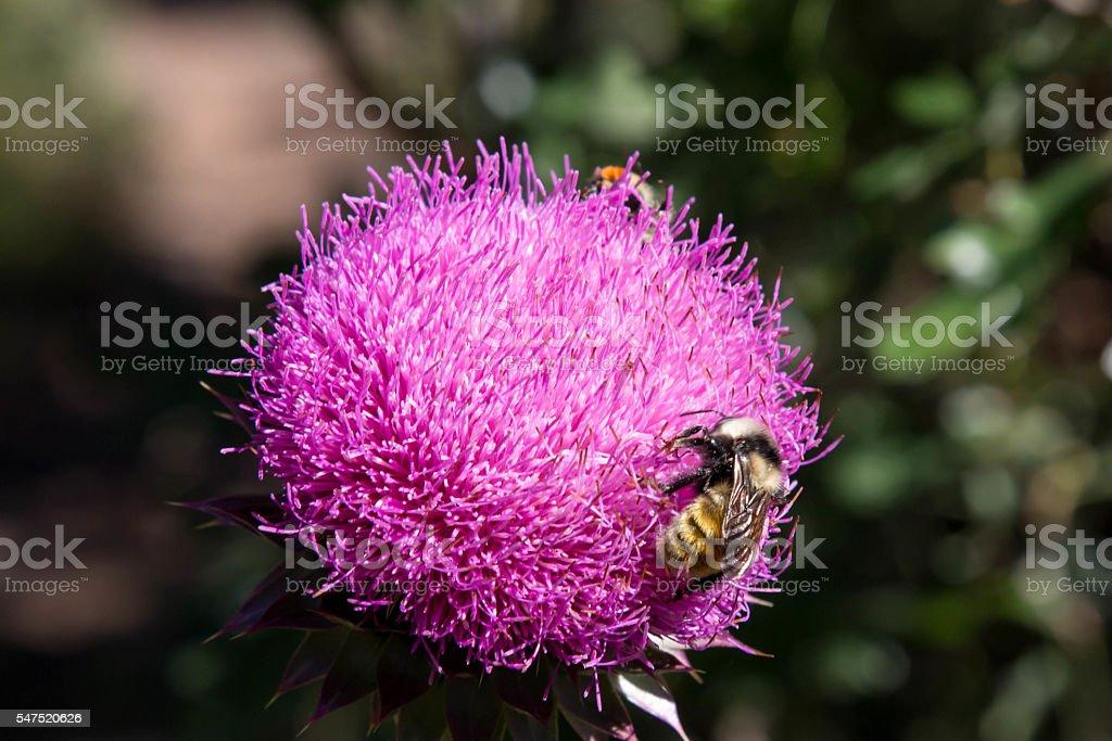 Honey bee on a bright purple thistle wildflower stock photo
