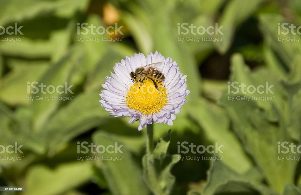 Honey Bee on a Flower royalty-free stock photo