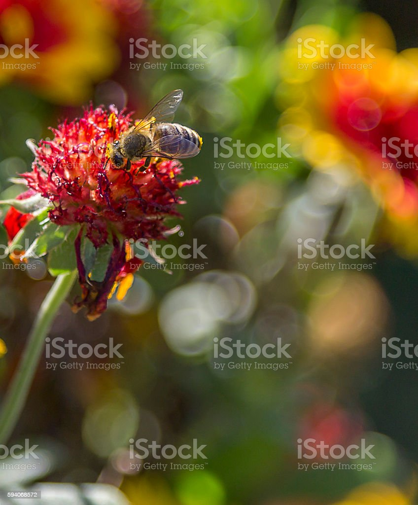 Honey bee on a flower stock photo