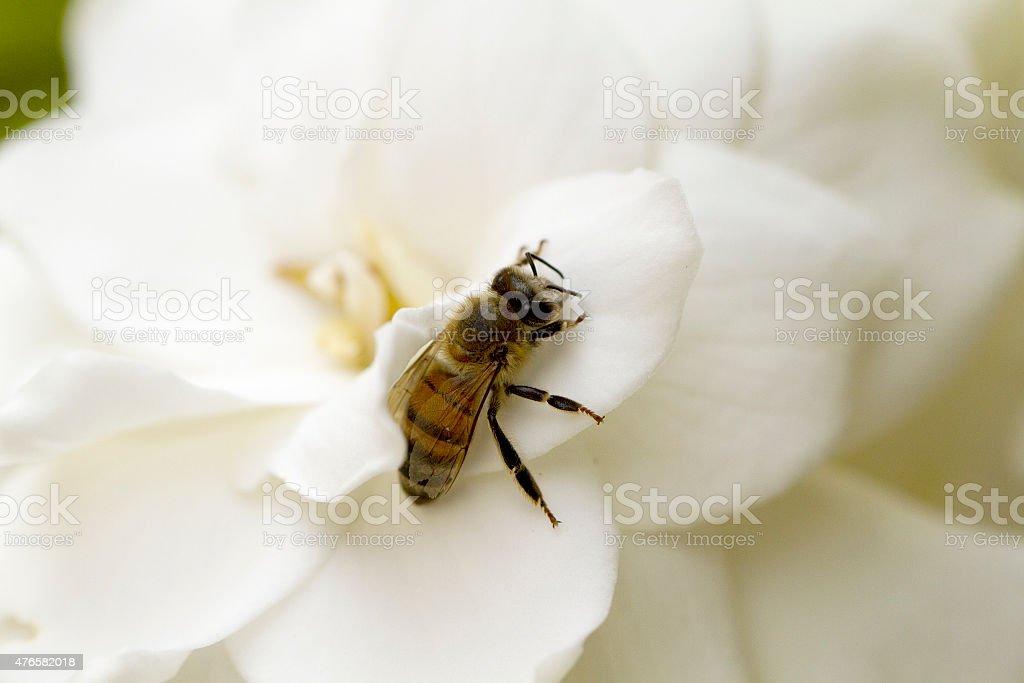 Honey Bee on a Gardenia stock photo