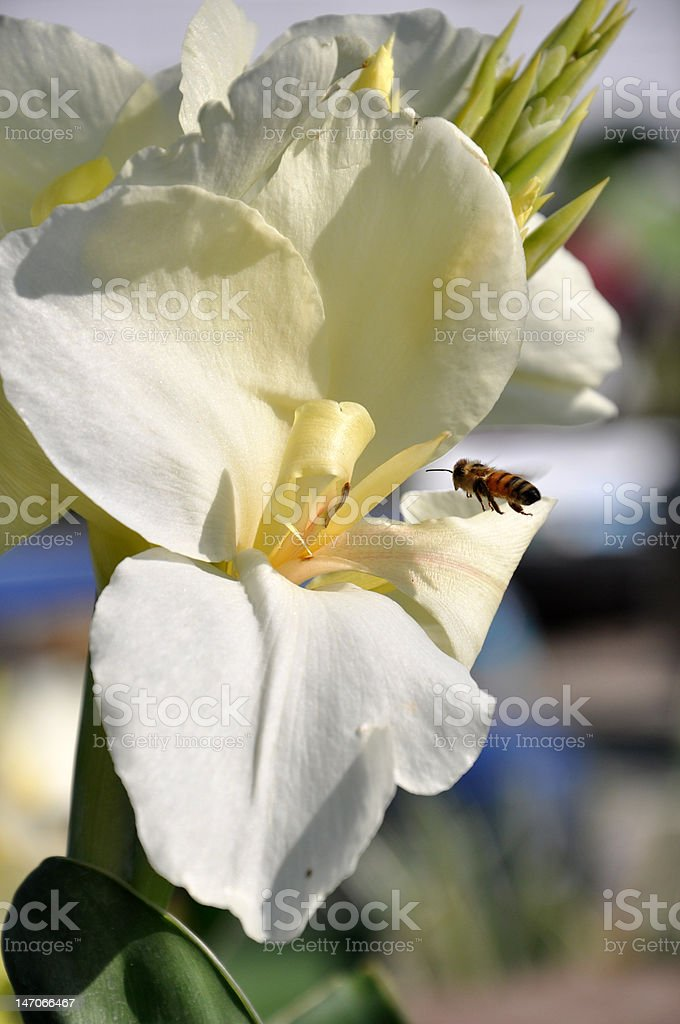 Honey Bee on a Mission stock photo