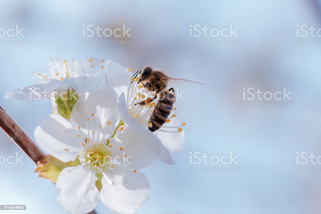 Honey Bee on a spring blossoms. stock photo